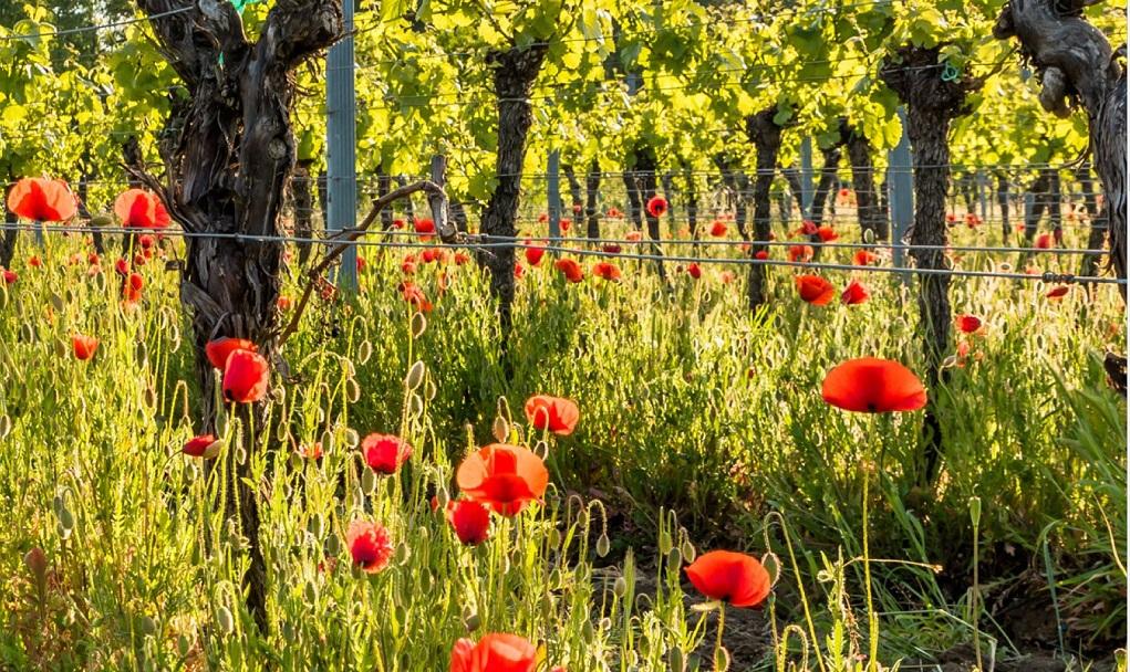 Rozengeur en fijne wijn